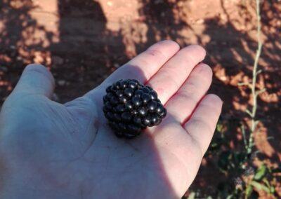 agroberry huerto de zarzamora 2
