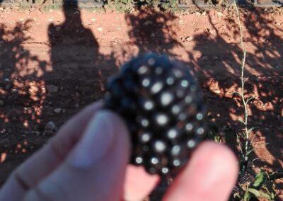 agroberry huerto de zarzamoras 1