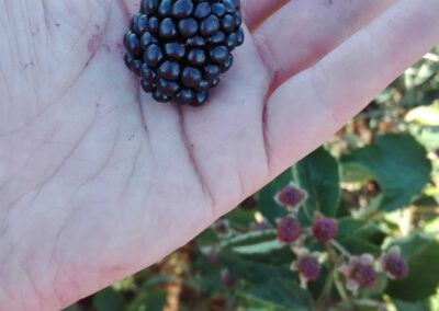 agroberry zarzamora en la mano